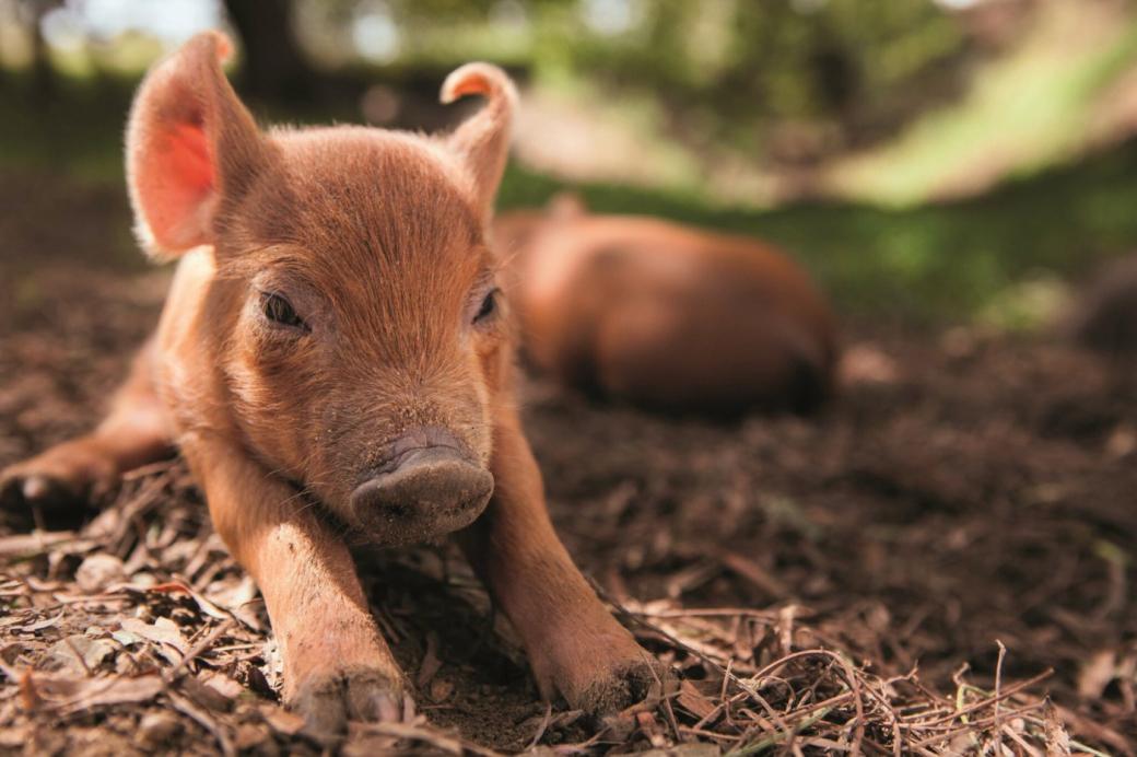 film: The Biggest Little Farm - met o.a. John Chester en Emma the Pig